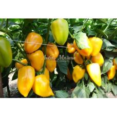 Перец сладкий Оранжевый галстук | 8 шт | Мязина Л. А.