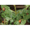 Применение Фитоверма для защиты картофеля от колорадского жука